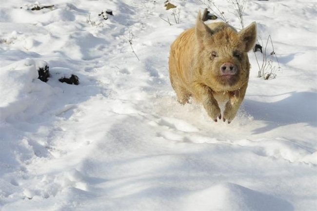 Happy National Pig Day 2012! [VIDEO]