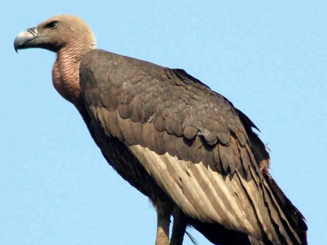 Vulture awareness day: WWF screens documentary to highlight Gyps vulture crisis