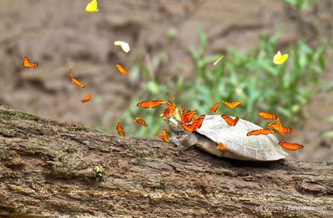 Amazonian Butterflies Drink Turtle Tears