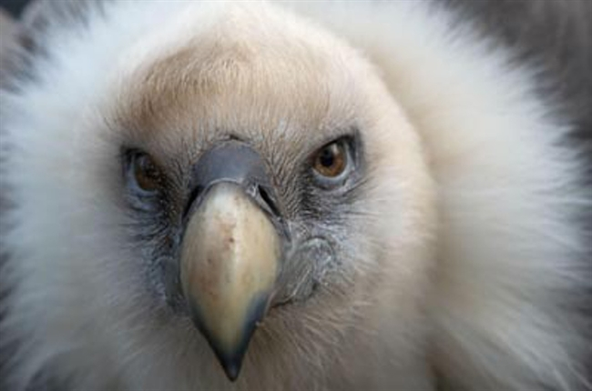 Save the Vultures during International Vulture Awareness Day