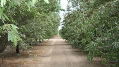 Pistachios may be at risk from planting new trees into PBTS-infested soil